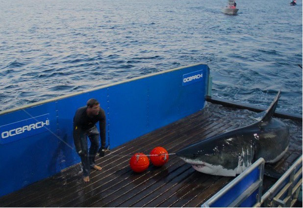 16-foot, 3,500-pound shark heading toward Florida (VIDEO)
