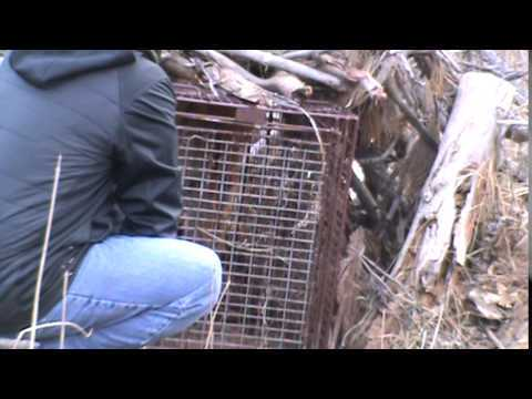 South Dakota Trapper Releases Ticked-off Mountain Lion (VIDEO)