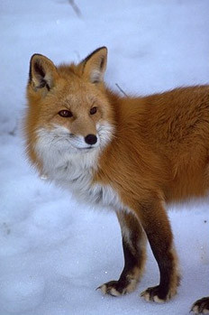Extremely Rare Red Fox Sighted in Yosemite
