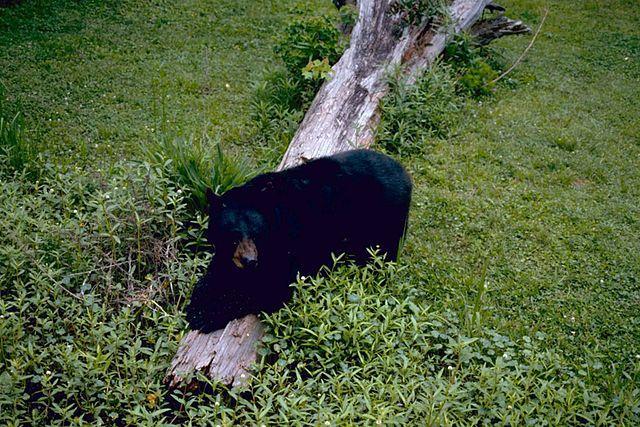 Louisiana Hunter kills endangered black bear, faces jail time and $10k in fines