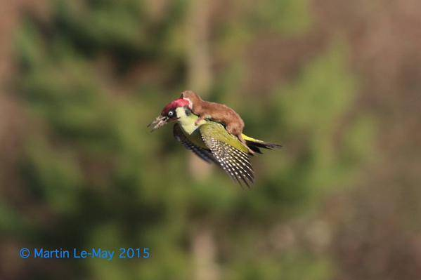 Photographer Nabs Picture of Baby Weasel Riding Woodpecker