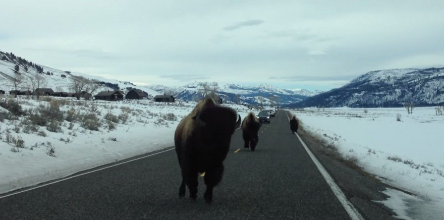 This is What It's Like to Get Charged by a Bison (VIDEO)