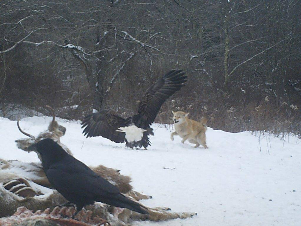 Bald Eagle Fights Coyote over Deer Carcass, Raven Wins