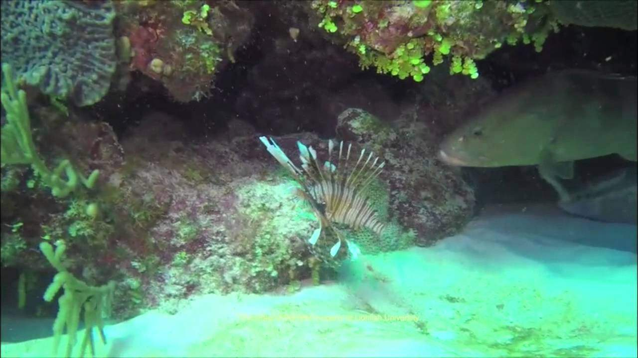 Grouper Devours Invasive Lionfish (VIDEO)