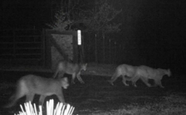 """Pride"" of Mountain Lions Sighted in California Community"