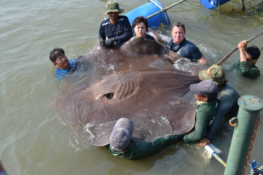 Trampoline-sized Stingray May Be Largest Freshwater Fish Ever Caught