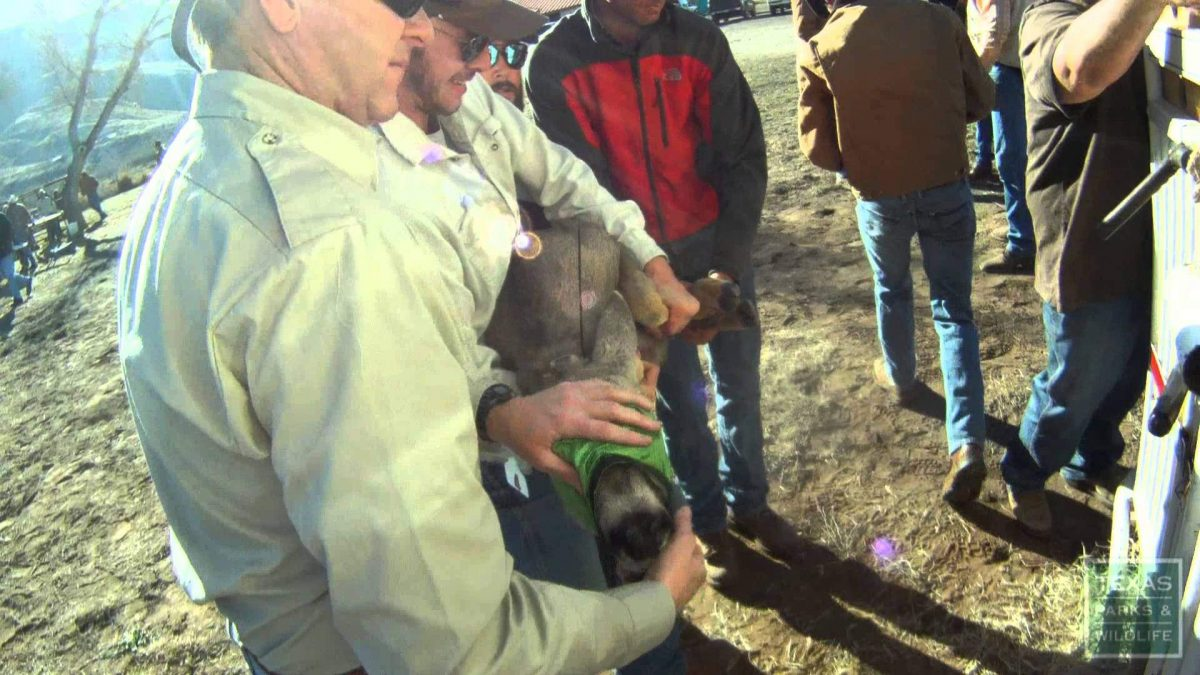 WATCH: Mule Deer Relocated in West Texas to Help Boost Population