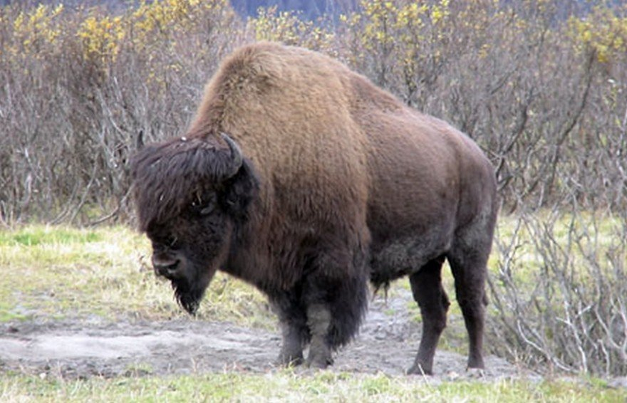 Wood Bison to Be Reintroduced to Alaska after 100-year Absence