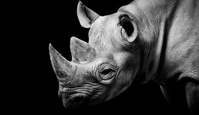 Black Rhino Extinct? Texas Hunter Corey Knowlton Pays $350k To Kill A Rhino And Save The Species