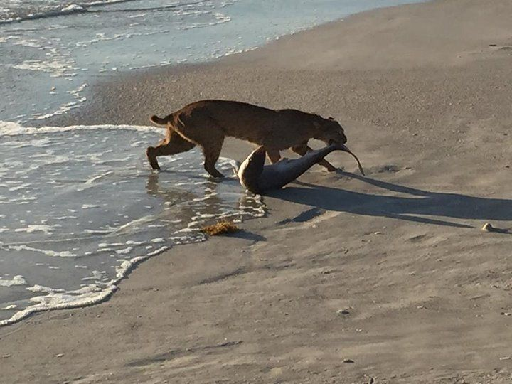 Florida Bobcat Pulls Shark Right Out of the Ocean