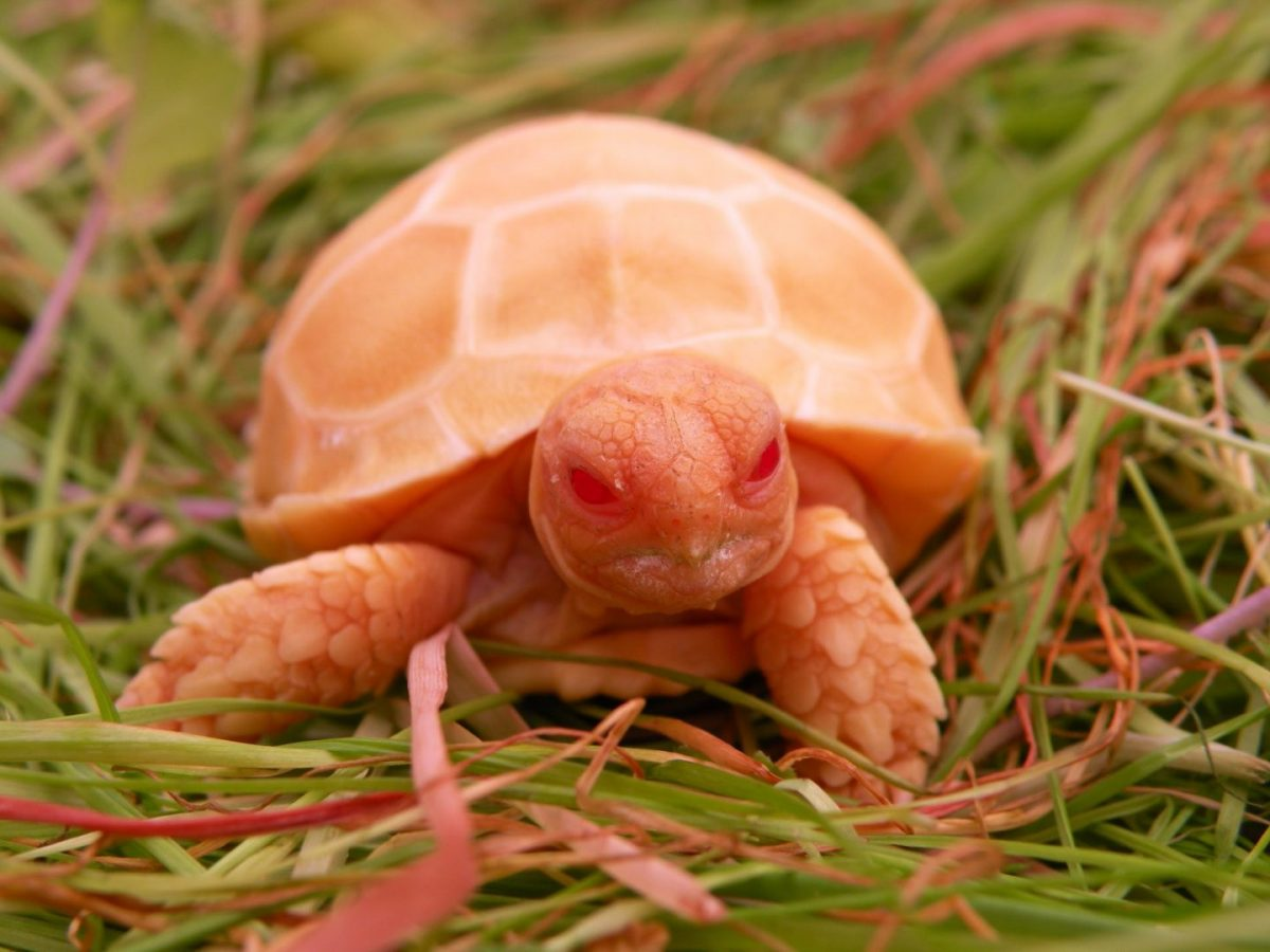 Have You Ever Seen an Albino Tortoise?