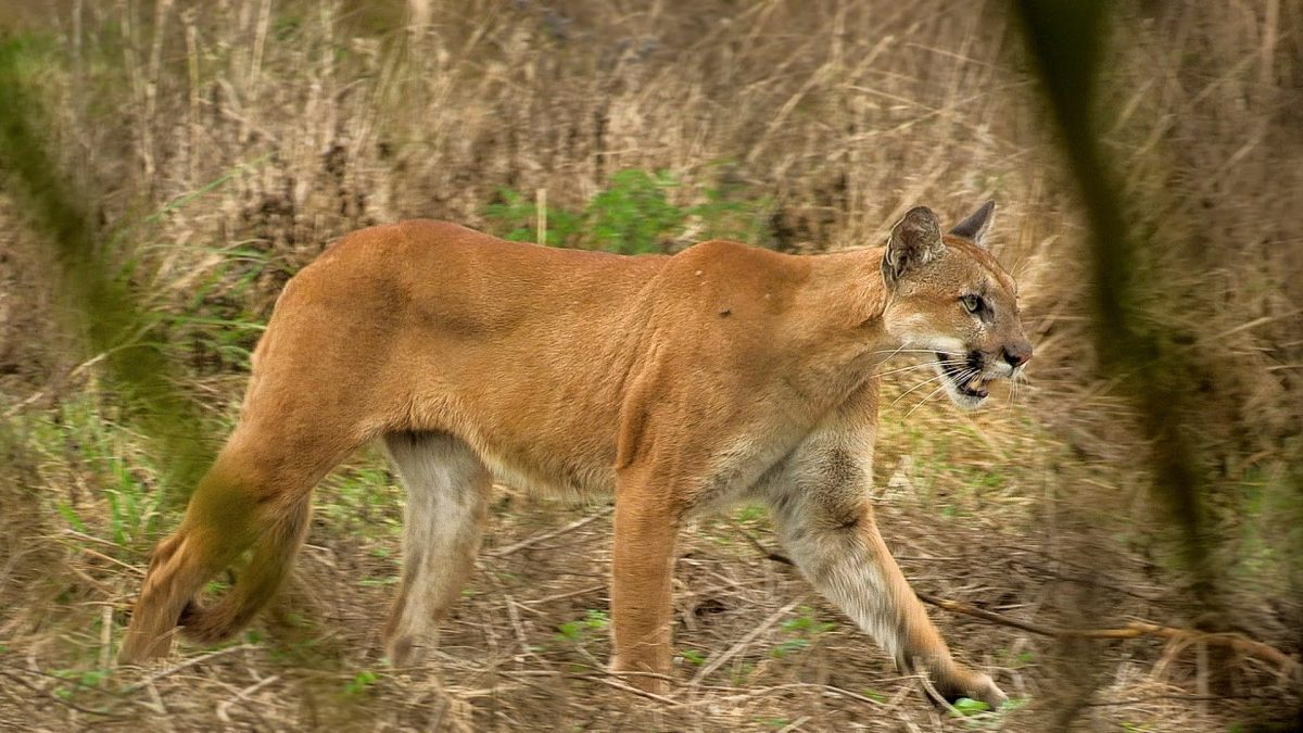 Turkey Hunters Spot Ultra-rare Florida Panther in the Wild (VIDEO)