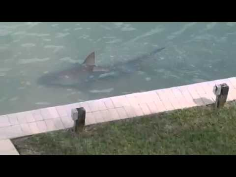 WATCH: Florida Man Discovers Shark in His Backyard