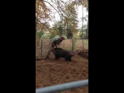 WATCH: Man Wrestling Wild Hog Gets Flipped on His Back