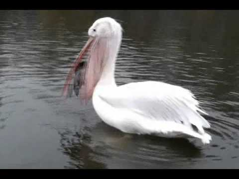 WATCH: Pelican Swallows Pigeon Whole