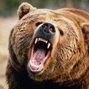 Russian bear mauls woman, covers her up to eat her later (VIDEO)
