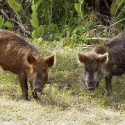 Louisiana night hog hunting bill catches flak