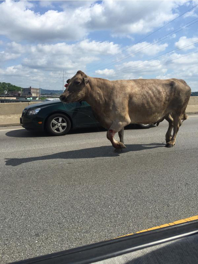 Cow shot outside McDonald's after running away from slaughterhouse