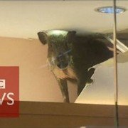 WATCH: Wild boar smashes through shop ceiling in Hong Kong…havoc ensues