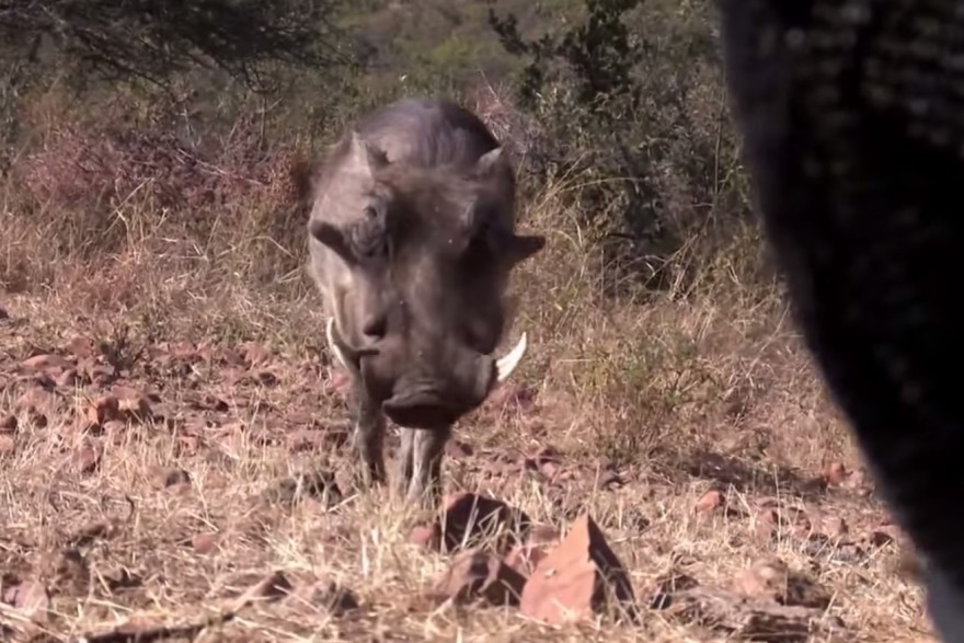 Video: African Warthog Nearly Stumbles into Blind, Shot at One Yard