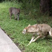 Video: Bobcat Squares Off with Coyote
