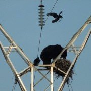 Video: Ravens Attack Bear Climbing Electric Tower to Eat Their Eggs
