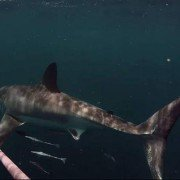 Watch fisherman come within inches of great white shark in GoPro video