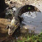 What to do if You Encounter an Alligator