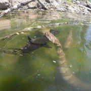 Huge swimming snake eats catfish in incredible photo
