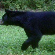 Louisiana Black Bear to be Removed From Endangered Species List