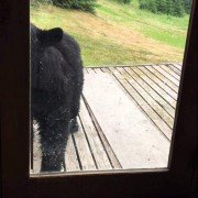 'Fraidy-cat' feline scares black bear off porch (VIDEO)