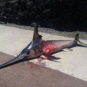 Hawaii Angler Dies after Being Impaled by Swordfish
