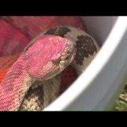 Pink rattlesnake found near construction site in Utah (VIDEO)