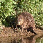 England's only wild beavers give birth – the first known new arrivals for the species in 400 years