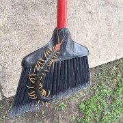 This Texas-sized centipede belongs in a horror movie