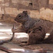 Photo Shows Squirrel Eating a Snake at Guadalupe Mountains National Park