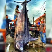 Angler Catches Near-world Record Marlin on His Birthday