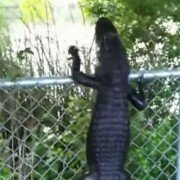 Alligator with Ninja Skills Deftly Climbs Fence (VIDEO)