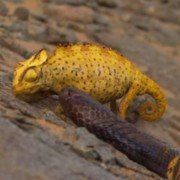 Cobra Chases Down and Attacks Chameleon (VIDEO)