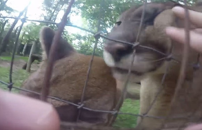 Man Jumps Zoo Fence to Pet Cougars (VIDEO)
