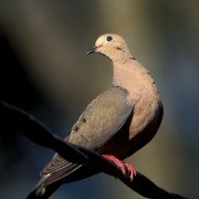 South Zone Dove Season Opens with a Bang