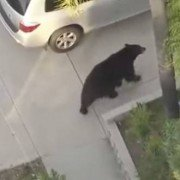 Guy Doesn't Pay Attention and Walks into a Huge Black Bear While Texting (VIDEO)