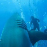 """Largest Great White Ever Recorded"" Circles Divers in New Footage"
