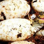 Louisiana Men Cited for Stealing over 500 Alligator Eggs