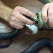 Australian Man Rescues Venomous Snake from Tin Can (VIDEO)