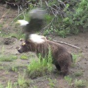 Bald Eagle Dive Bombs Surprised Grizzly (VIDEO)