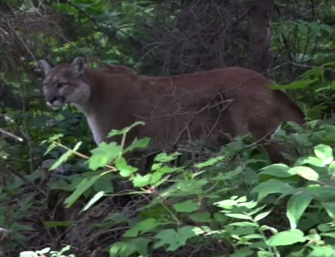Hiker Comes Face-to-face with Mountain Lion (VIDEO)
