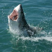Video Captures Incredible Shark Attack on Angler's Fish