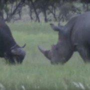White Rhino Fights Cape Buffalo in Territorial Clash (VIDEO)