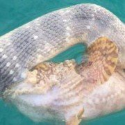 Bizarre Battle between World's Most Venomous Fish and Deadly Snake Caught On Camera